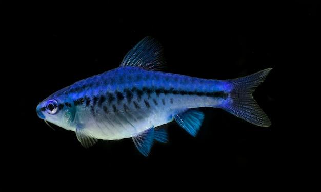 Poissons d'aquarium, barbus tetrazona, close-up