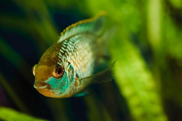 Poissons d'aquarium bleu nannacara