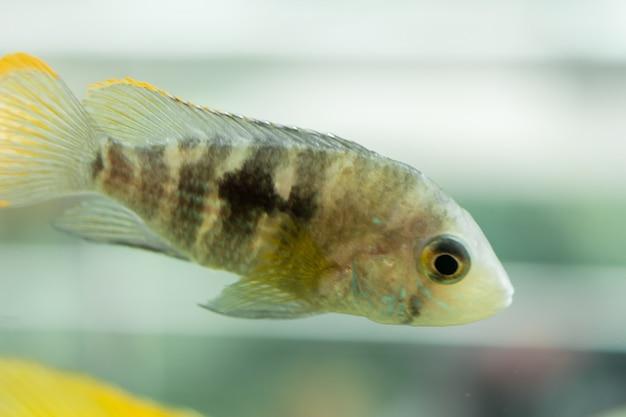 Poissons d'aquarium cichlidé nain. apistogramma nijsseni est une espèce de cichlidé endémique aux habitats locaux d'eaux noires très restreints du sud du pérou.