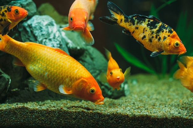 Poissons d'aquarium d'or