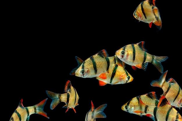 Poissons d'aquarium, le poisson barbeau tigre, barbue sumatra (puntius tetrazona).