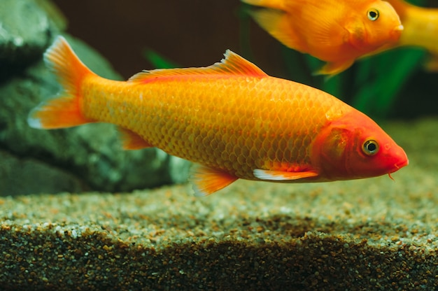 Poissons d'aquarium - poisson rouge