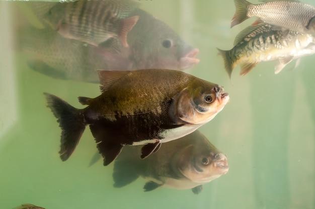 Poissons en aquarium pour la pisciculture. carpes, tambaquis et tilapias. pisciculture.