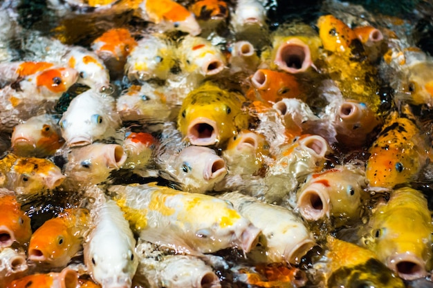 Poissons de carpe koi fantaisie japonais drôles demandant de la nourriture