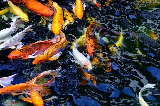 Les poissons colorés de carpe ou de koi nagent. koi poisson nageant dans l'étang.