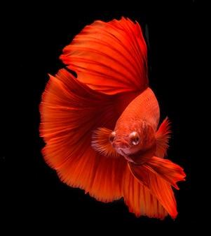 Poissons de combat, fond coloré, poisson betta halfmoon, poissons de combat siamois