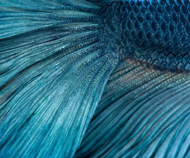 Poissons de combat siamois bleus