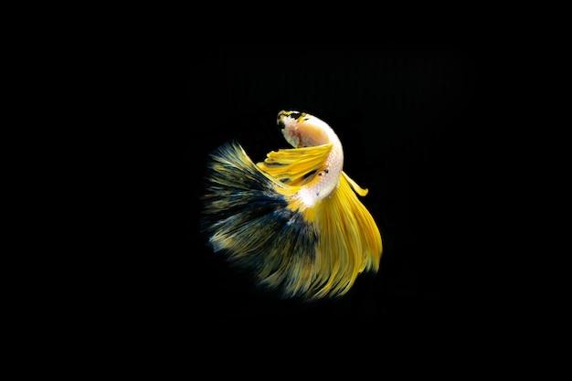 Poissons de combat siamois poissons de combat multicolores isolés sur fond noir.