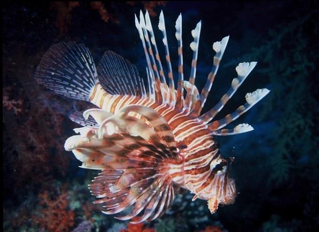 Poissons d'eau de mer lion lionfish océan coloré