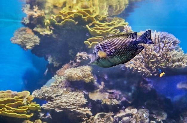 Poissons exotiques dans un aquarium sur la mer rouge, nageant entre les coraux.