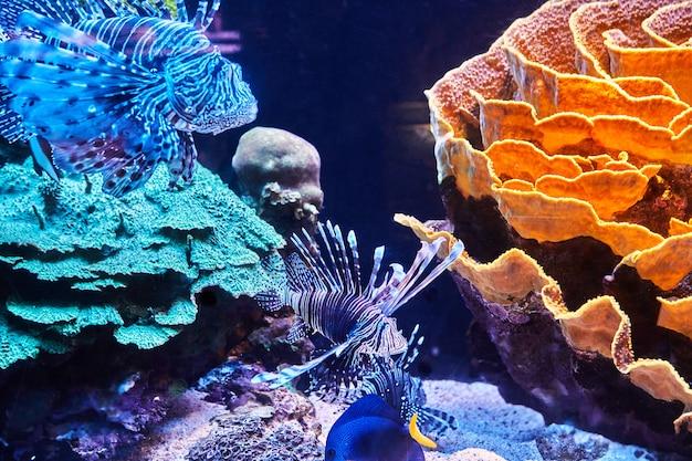 Des poissons exotiques dans l'aquarium de la mer rouge nagent entre des coraux brillants dans le noir