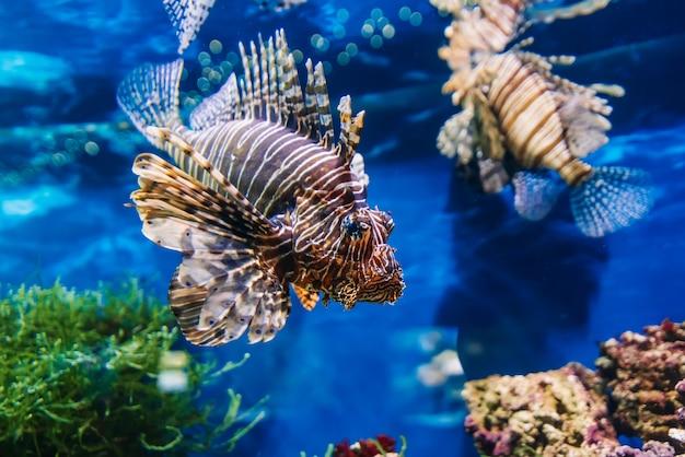 Poissons exotiques ropical lionfish rouge pterois volitans nage dans un aquarium