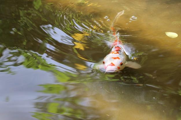 Des poissons fantastiques nageant et relaxant dans l'étang naturel