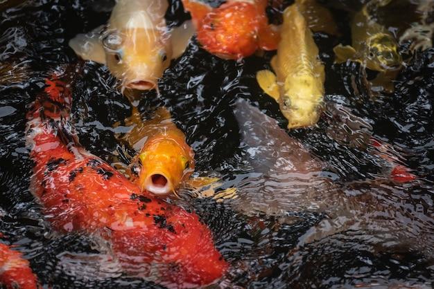 Poissons koi colorés dans l'étang à poissons, écrevisses