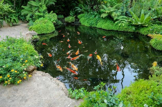 Poissons koi colorés nageant dans l'étang