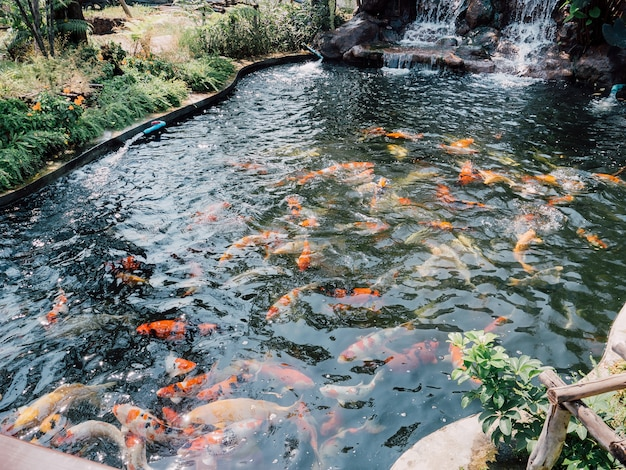 Poissons koi dans l'étang