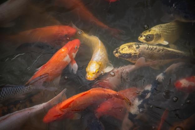 Poissons koi manger de la nourriture dans la rivière
