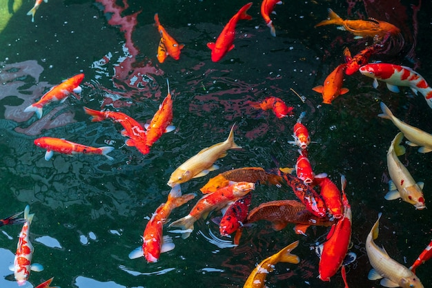 Poissons koi nageant dans l'étang.
