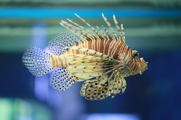 Les poissons lion nagent dans le récif de corail.