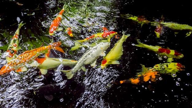 Poissons de merde colorés sous l'eau, étang à poissons de merde fantaisie pour la beauté et la détente dans un jardin verdoyant