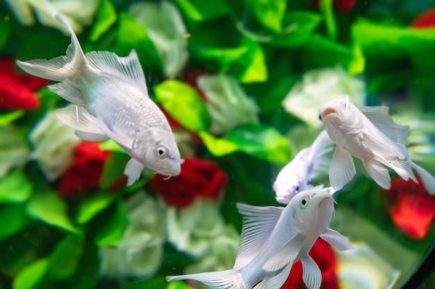 Les poissons rouges nagent parmi les fleurs sous l'eau