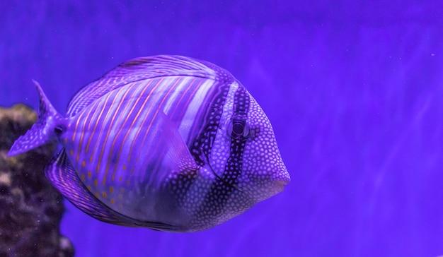 Poissons tropicaux lumineux sur un récif de corail. un grand troupeau de poissons nage sous l'eau. beau fond aqua, sur le fond marin, fond marin. un troupeau de poissons dans l'aquarium