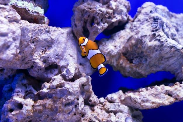 Les poissons tropicaux nagent près du récif de corail. mise au point sélective