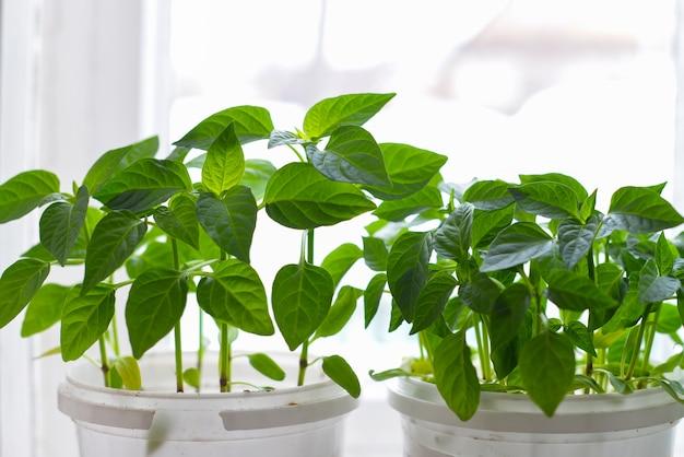 Poivre en pot plantes et jardinage.
