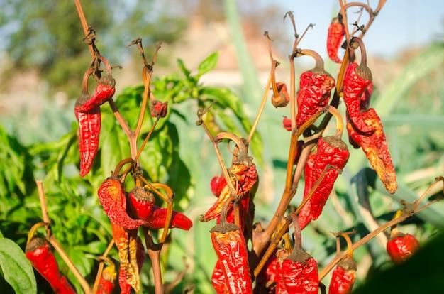 Le poivron rouge fort, sec et fané, pousse dans le champ. maladie végétale.
