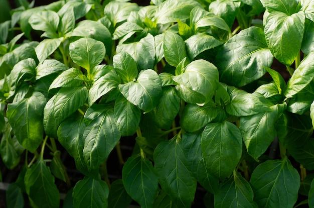 Poivrons, gros plan jeunes feuilles de poivron, fond de printemps. les semis dans le vert