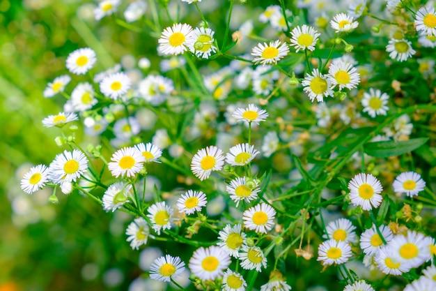 Pollen jaune de fleur blanche de marguerite dans le doux de jardin de touffe