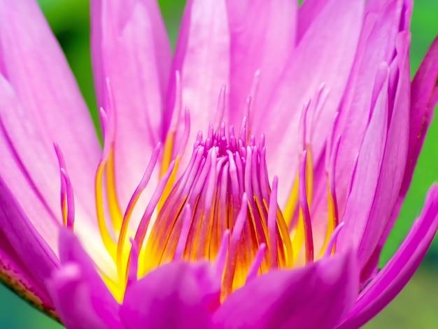 Pollen et pétales de fleurs de lotus rose off macro