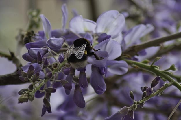 Pollinisation de la glycine au printemps