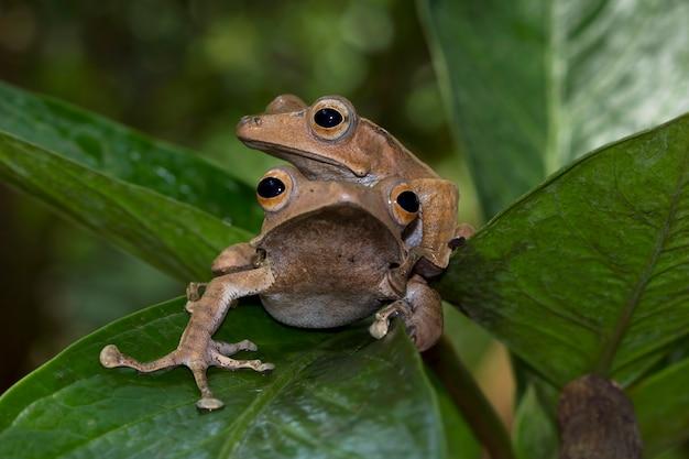 Polypedates otilophus assis sur des feuilles vertes