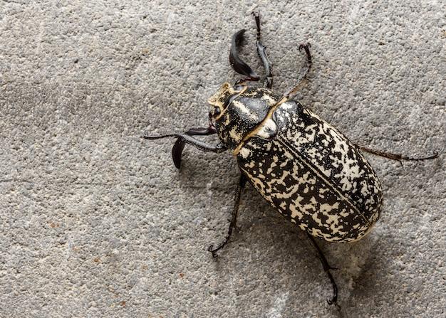 Polyphylla fullo scarabée dans la nuit