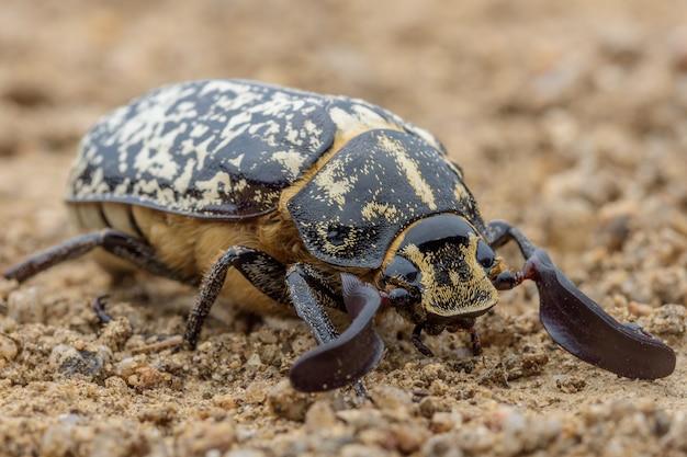 Polyphylla fullo scarabée dans le sol