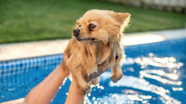 Pomeranian dans les mains du propriétaire dans une piscine