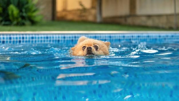 Pomeranian avec fourrure jaune nageant dans une piscine