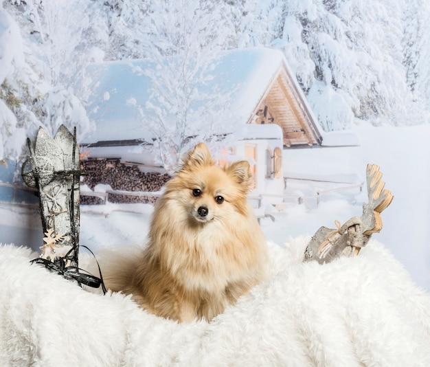Poméranie assis sur un tapis de fourrure en scène d'hiver, portrait