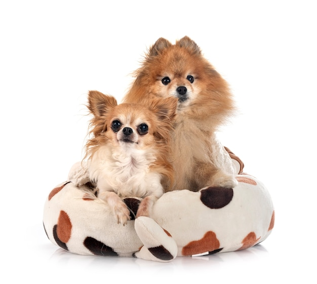 Poméranie brune et chihuahua in front of white background
