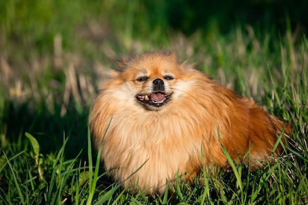 Poméranie rouge mignon sur fond d'herbe verte, à l'extérieur. journée ensoleillée, le chien sourit