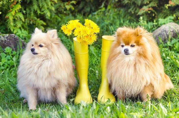 Poméranie et spitz allemand sont assis près de bottes en caoutchouc jaune