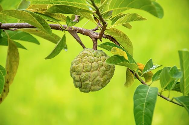 Pomme à la crème sur un arbre