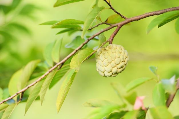 Pomme fraîche de sucre sur la pomme de crème de fruit tropical d'arbre, annona sweetsop