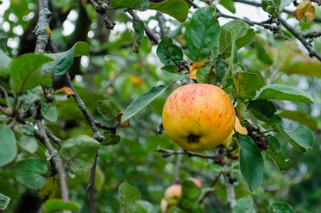 Pomme jaune avec une bande rouge accrochée à un arbre par temps nuageux