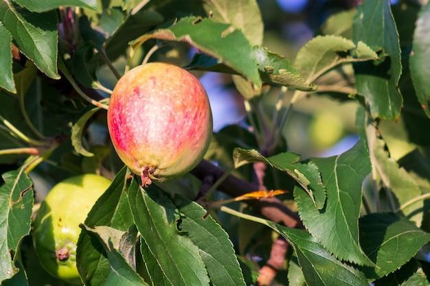Pomme mûre sur une branche d'arbre, gros plan. récolte dans un verger. notion agricole. publicité de jus de fruits