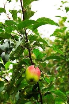 Pomme mûre sur une branche sur fond de ciel. mise au point sélective.