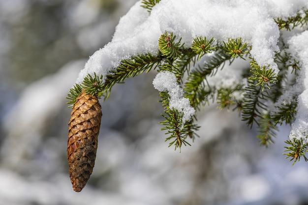 Pomme de pin accrochée à une branche couverte de neige