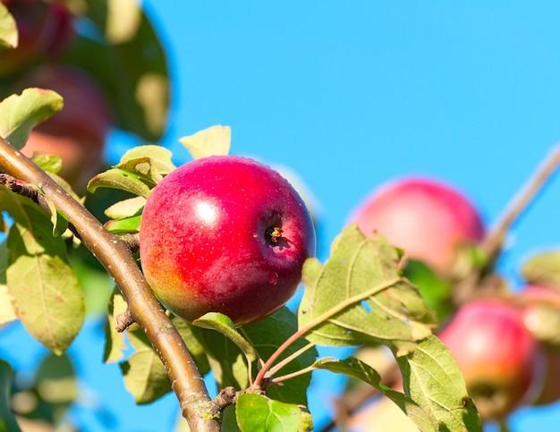 Une pomme rouge sur une branche avec feuille