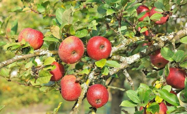 Pomme rouge dans l'arbre